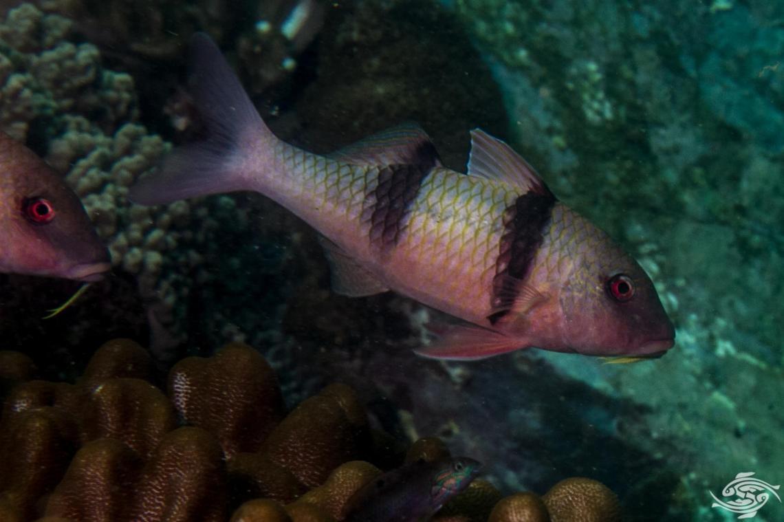 Doublebar Goatfish (Parupeneus trifasciatus)