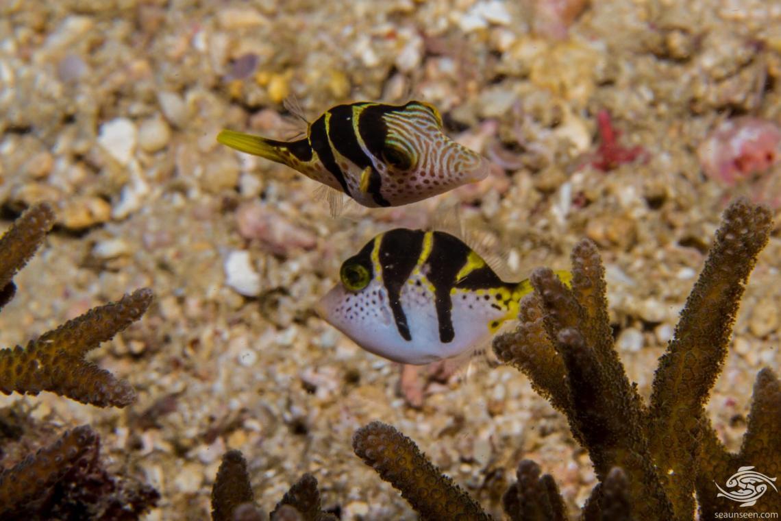 Blacksaddle filefish, Paraluteres prionurus and the Blacksaddle toby Canthigaster valentini.