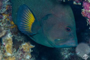 Redmouth grouper Aethaloperca rogaa