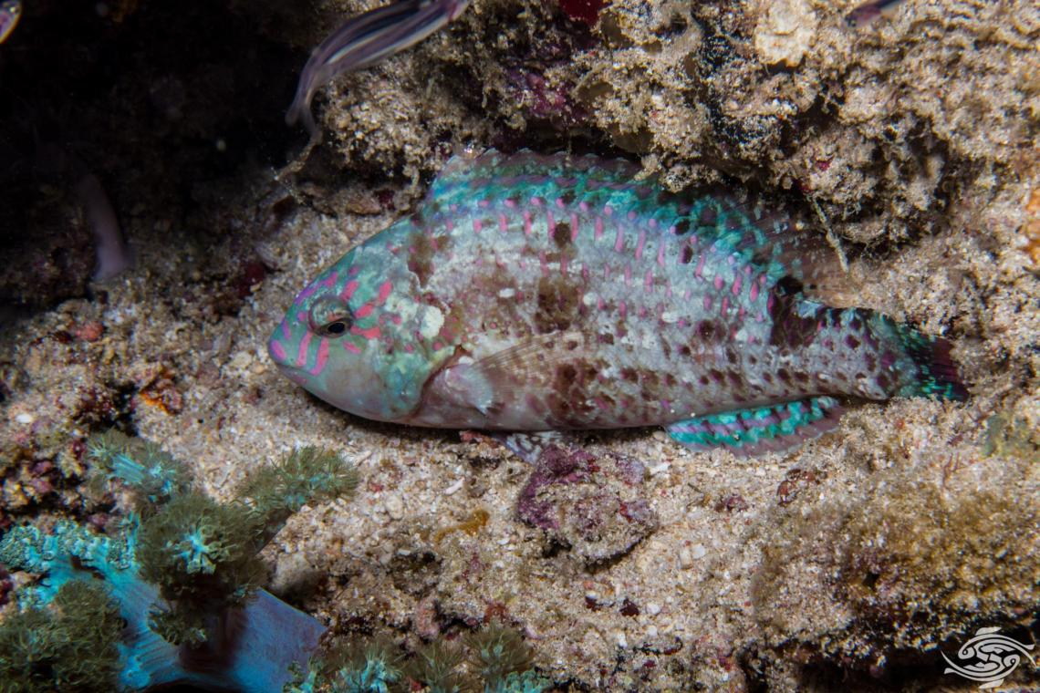 Stareye Parrotfish Calotomus carolinus is also known as the Christmas Parrotfish, Starry-eye Parrotfish, Bucktooth Parrotfish and Caroline's Parrotfish
