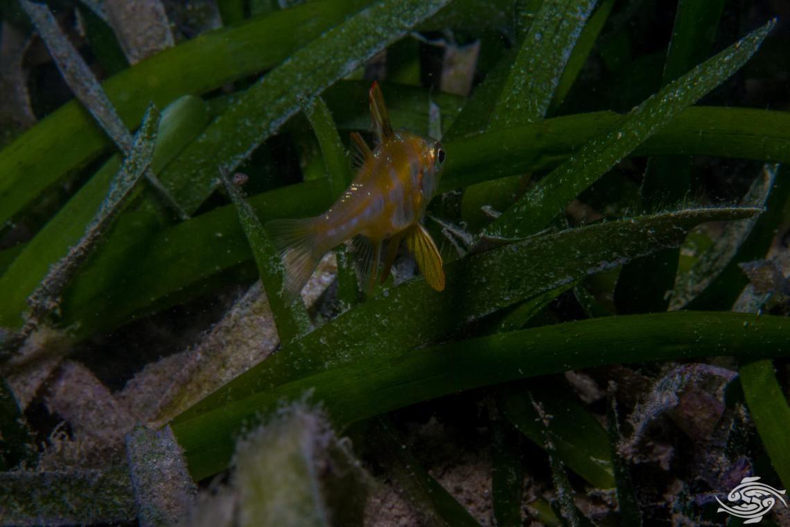 Blackfoot Cardinalfish, Apogon nigripes