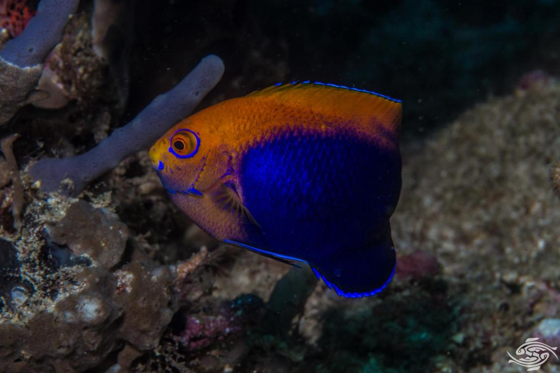 African Pygmy Angelfish (Centropyge acanthops) is also known as the African Cherubfish, the African Dwarf Angelfish, the Orangeback Angelfish, the Flameback Angelfish and the Jumping Bean