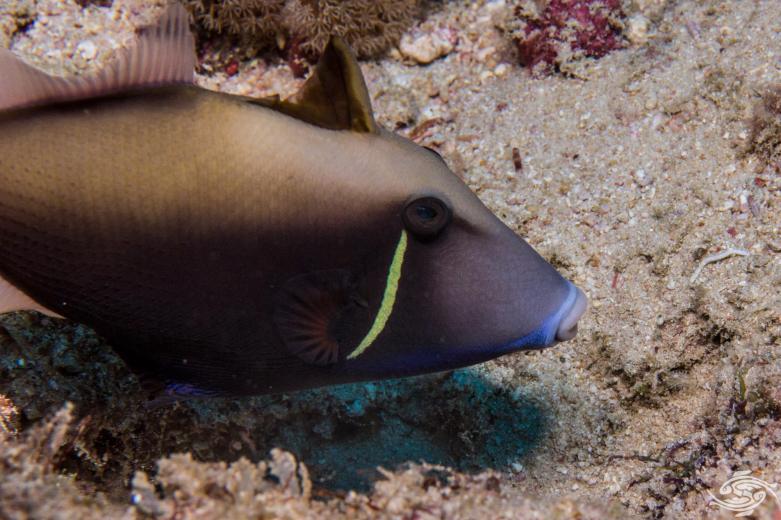 Halfmoon triggerfish, Sufflamen chrysopterum