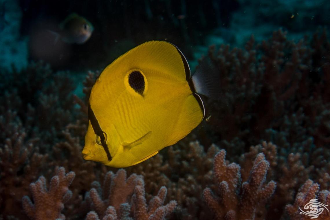 yellow teardrop butterflyfish, Chaetodon interruptus