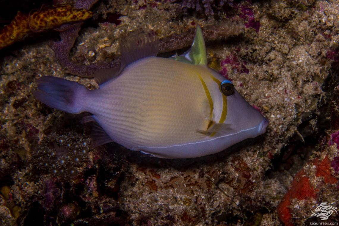 Boomerang triggerfish Sufflamen bursa