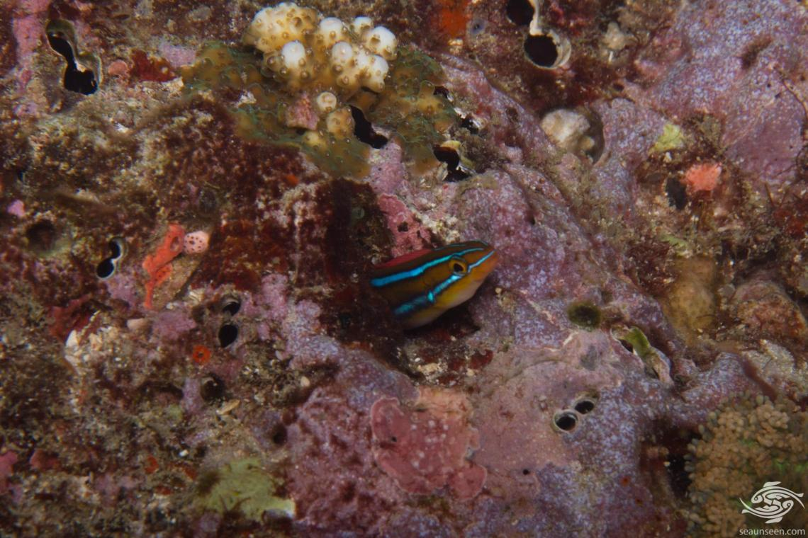 Bluestriped fangblenny (Plagiotremus rhinorhynchos) is also known as the bluestriped blenny, bluestriped sabretooth blenny, blunt-nose blenny, cleaner mimic, tube-worm blenny and the two-stripe blenny