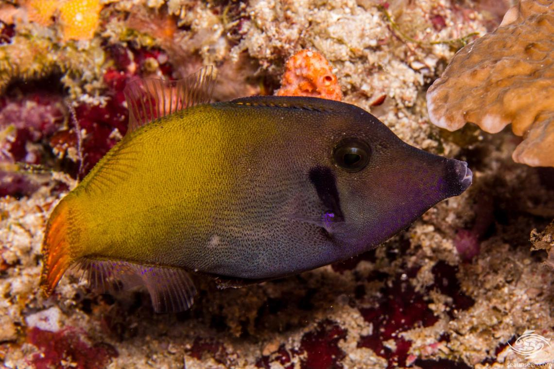 Blackbar Filefish (Pervagor janthinosoma) is also known as the Redtail Filefish and the Ear-spot Filefish