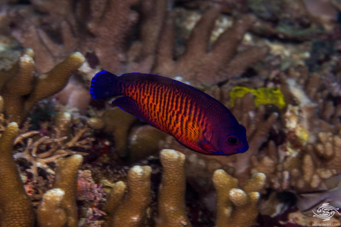 Coral Beauty Angelfish (Centropyge bispinosa) is also known as the Twospined Angelfish