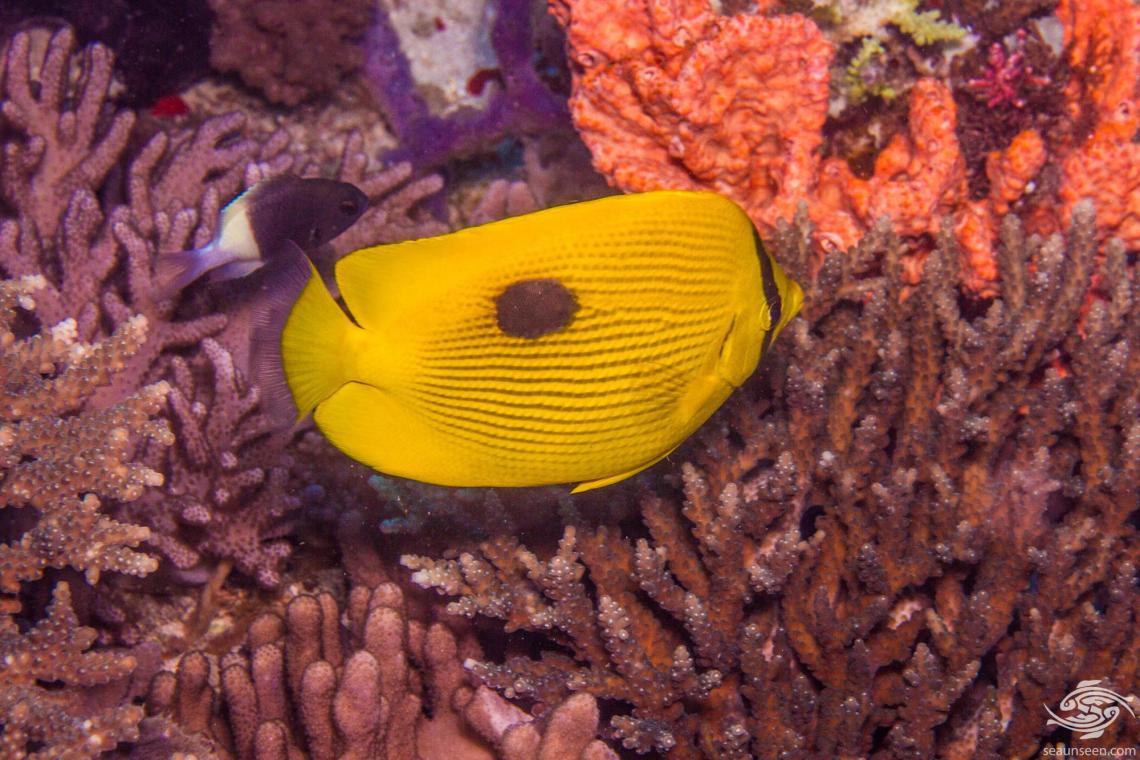 Zanzibar Butterflyfish (Chaetodon zanzibarensis)