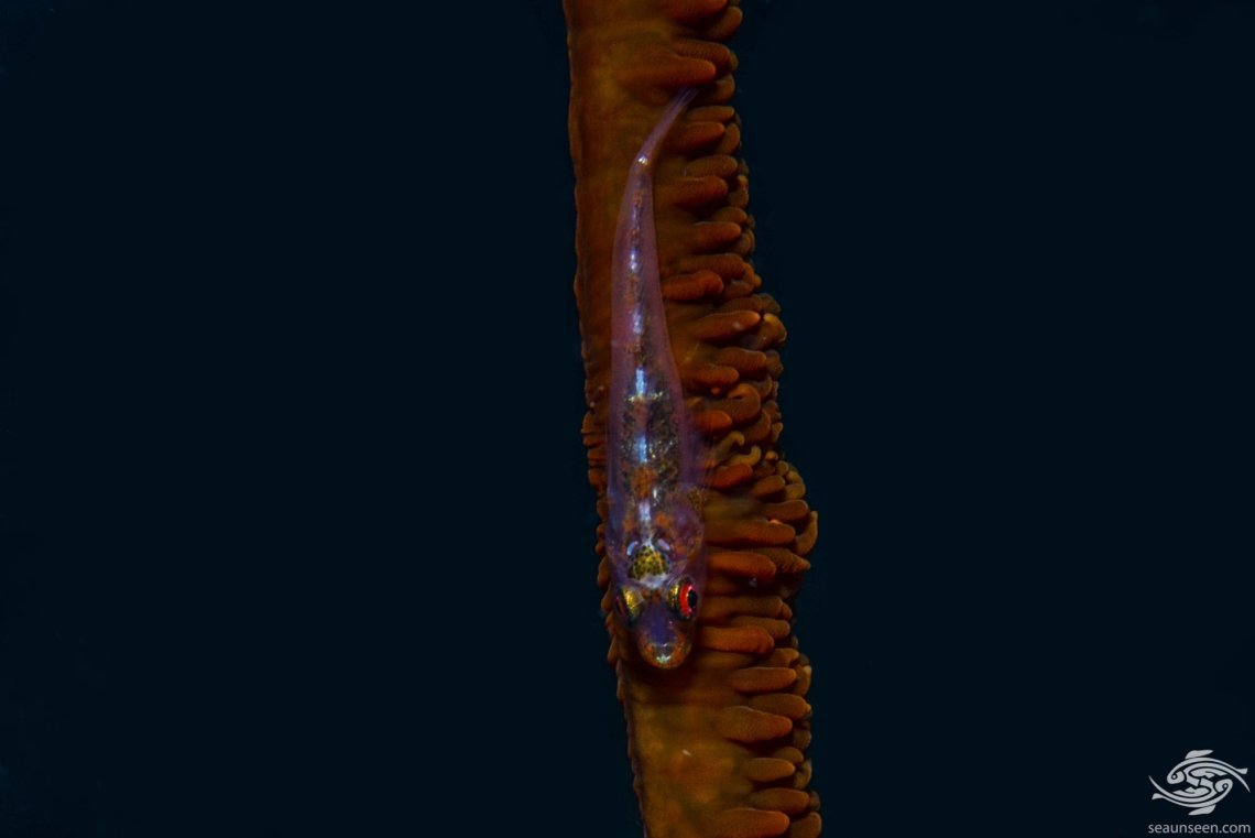 Whip Coral Goby (Bryaninops yongei) is also known as the wire-coral goby