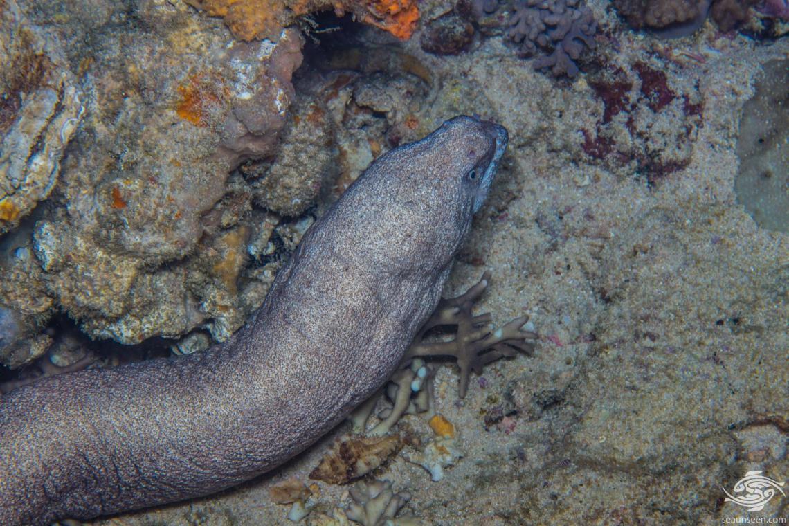 Unidentified species of Eel