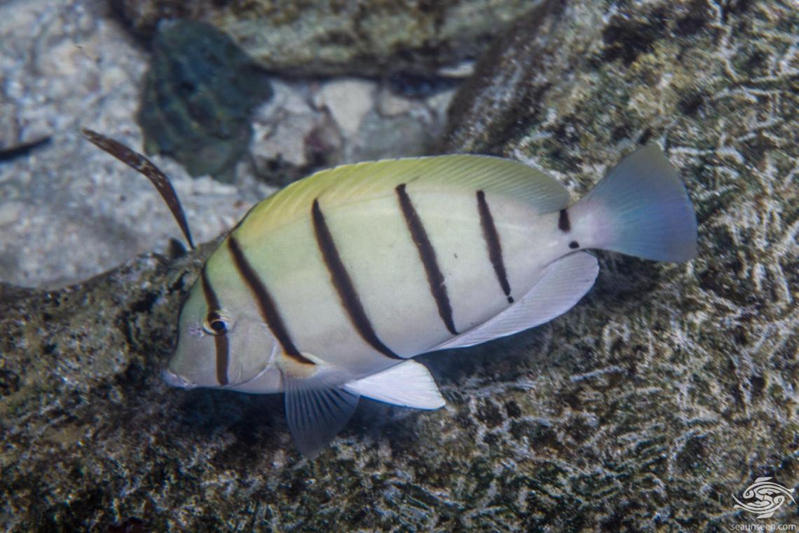 Convict Tang (Acanthurus triostegusor) is also known as the Convict Surgeonfish