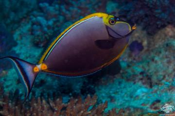 orange-spine unicornfish (Naso lituratus) also known as the clown tang, masked unicornfish and barcheek unicornfish