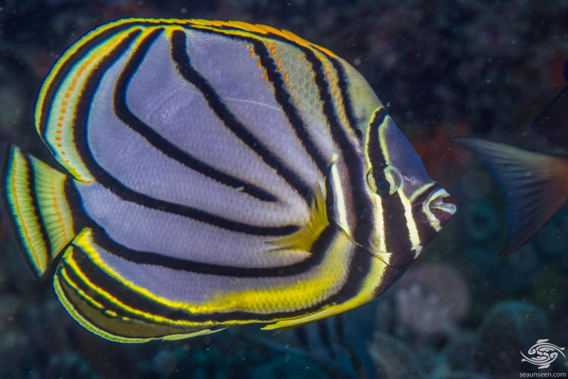 Meyer's Butterflyfish (Chaetodon meyeri) is also known as the Maypole Butterflyfish and the Scrawled Butterflyfish