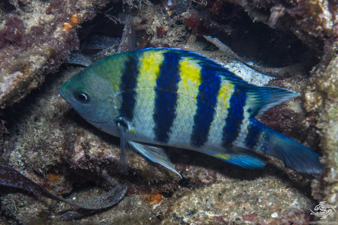 Indo-Pacific Sergeant (Abudefduf vaigiensis) is also known as the Five-banded Sergeant-major and in some areas simply as the Sergeant Major