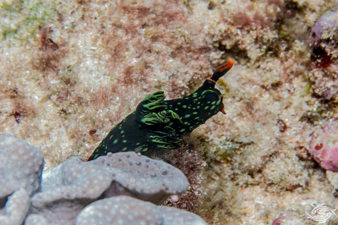 Nembrotha kubaryana, also known as the variable neon slug or the dusky nembrotha