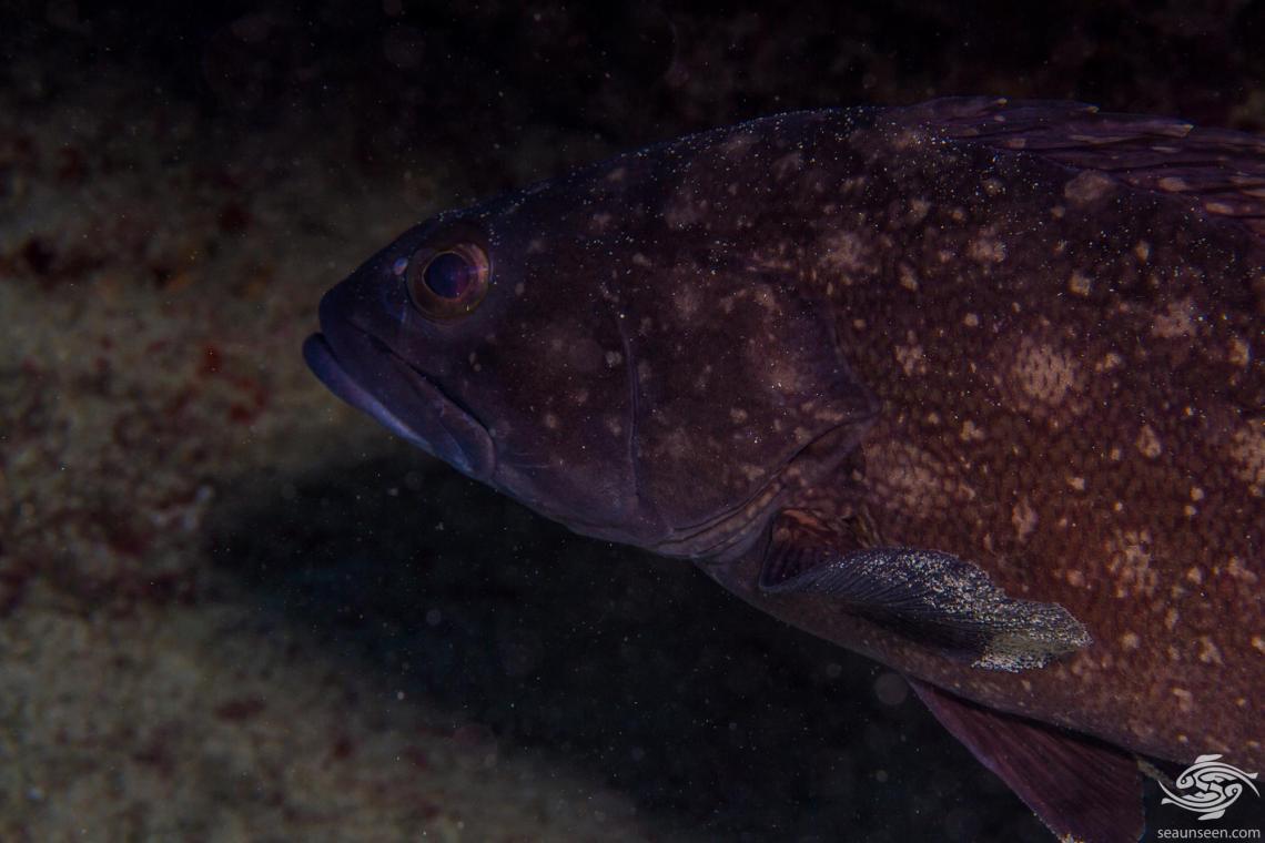 Whitespotted grouper (Epinephelus coeruleopunctatus) is also known as the White Spotted Rockcod