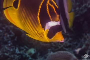 Raccoon butterflyfish (Chaetodon lunula) is also known as the Lunula butterflyfish, Halfmoon butterflyfish and the Crescent-masked Butterflyfish