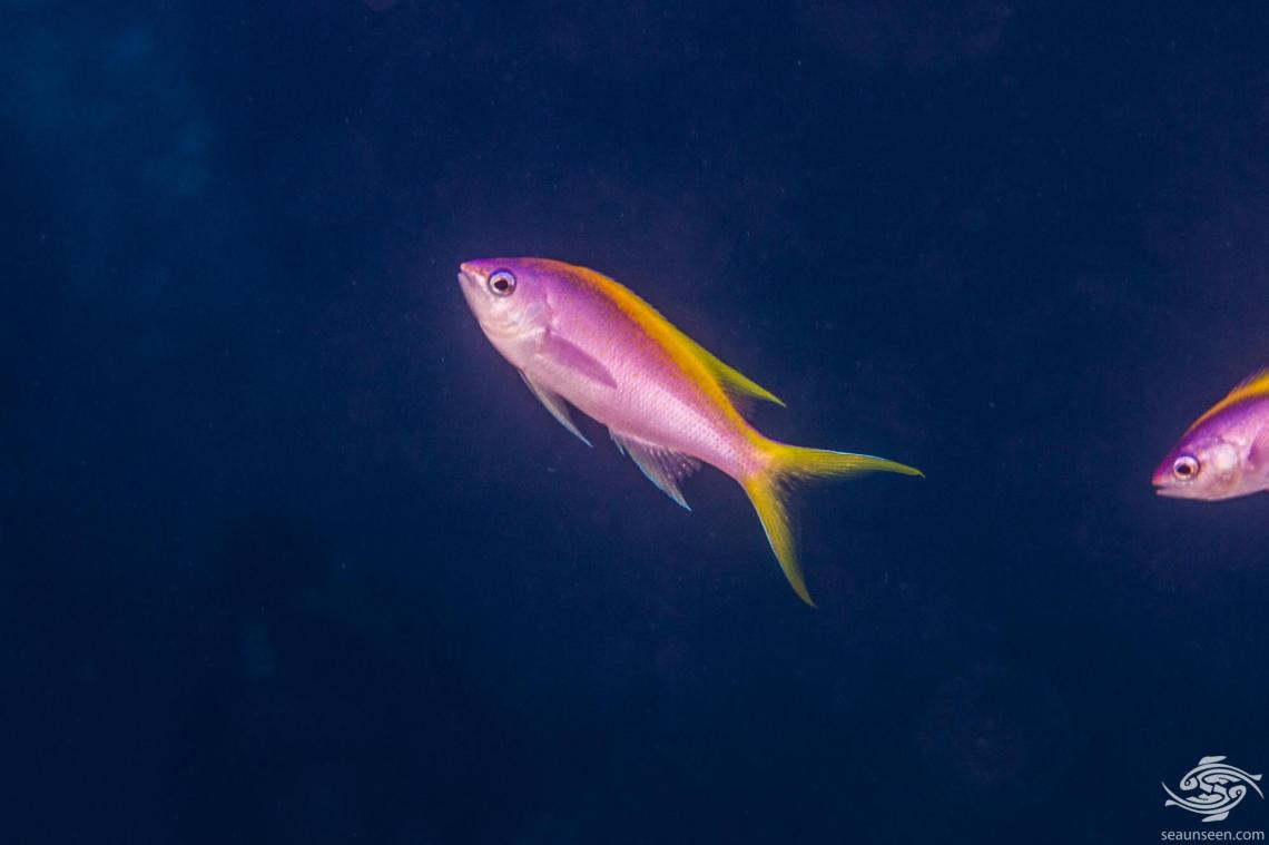 the Yellowback Anthias (Pseudanthias evansi)is alsoknown as the Goldback Anthias, Goldback Basslet and Purple Wreckfish.