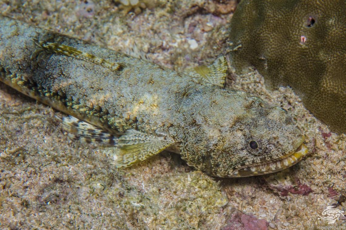 Graceful lizardfish (Saurida gracilis) also called the Blotchy lizardfish and Slender Lizardfish