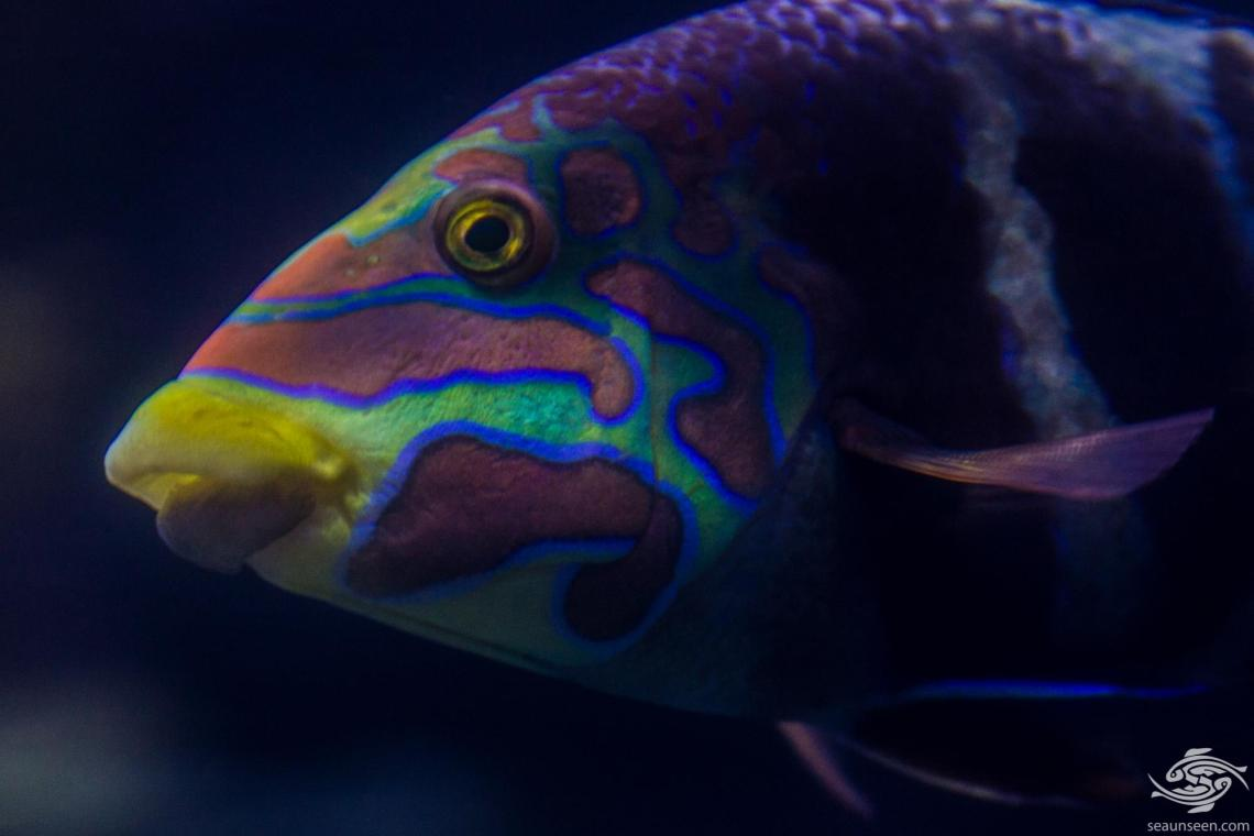 Barred Thicklip wrasse is also known as the Banded thicklip, Barred wrasse and Five-banded wrasse