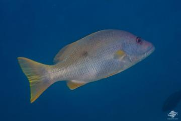 One-spot Snapper (Lutjanus monostigma) is also known as the Black Spot Snapper, One-spot Seaperch and Onespot Perch.