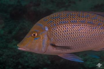 Spangled Emperor (Lethrinus nebulosus) is also known as the Yellow Emperor, North West Snapper and Yellow Sweetlip