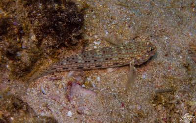 Decorated Goby (Istigobius decoratus) is also known as the Decorated Sand Goby, the Decorated Sand-Goby and the Decorated Sandgoby
