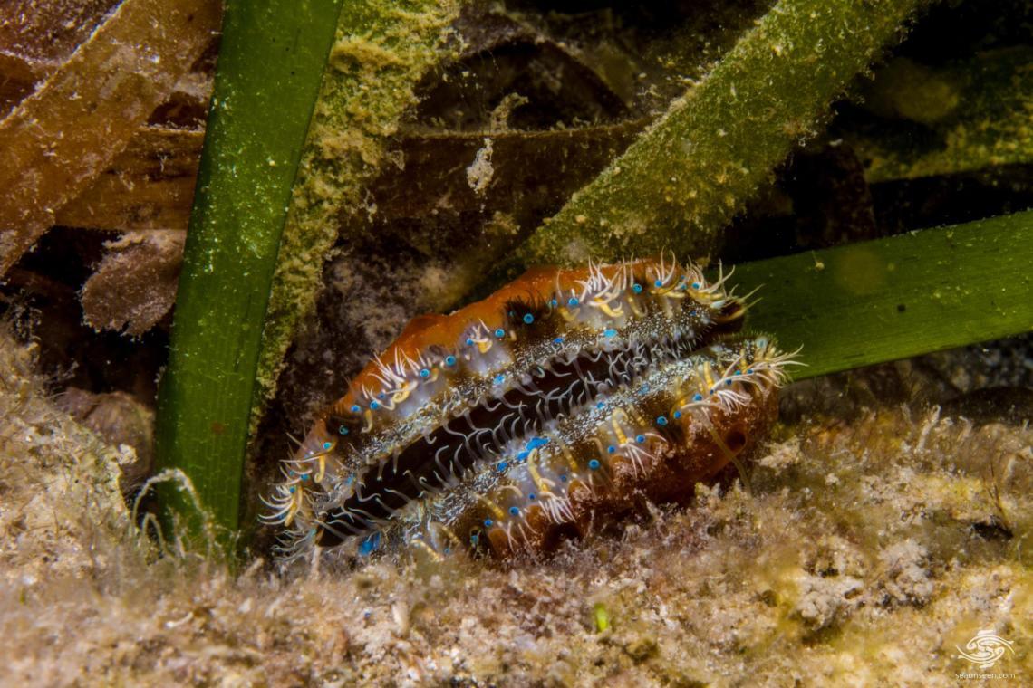 Senatorial Scallop (Mimachlamys sanguinea)