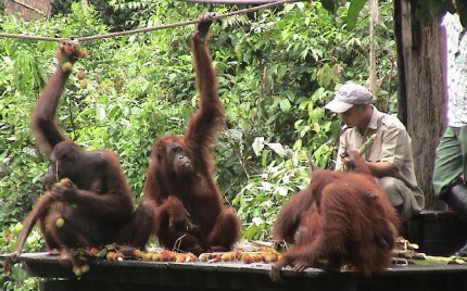 sepilok-orangutan-during-feeding-430x268