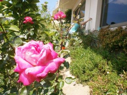 Цветущие розы в саду виллы Feel the Sea