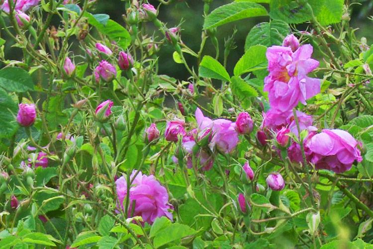 Τριαντάφυλλα της Ροδόπης – Χρώματα και Αρώματα της Βόρειας Ελλάδας