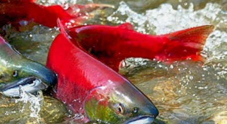 Virus poses minimal risk to Fraser River sockeye salmon