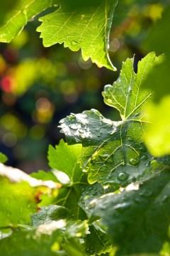 Weinblätter nach einem Sommerregen