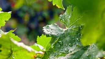 Bild: 20110824 Weinblätter