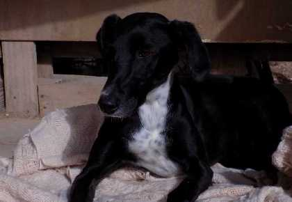 Luna Galgo/Pointer Cross head
