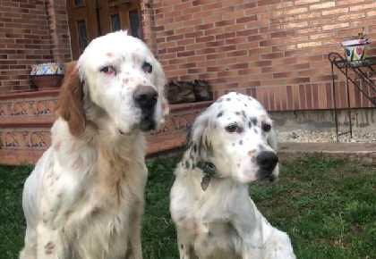 Thor and Luna English Setters head