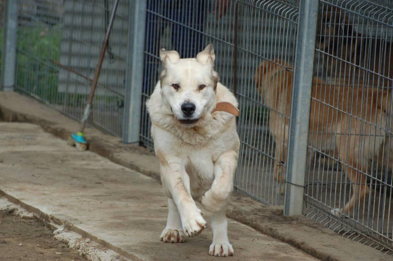 Sita Spanish Mastiff