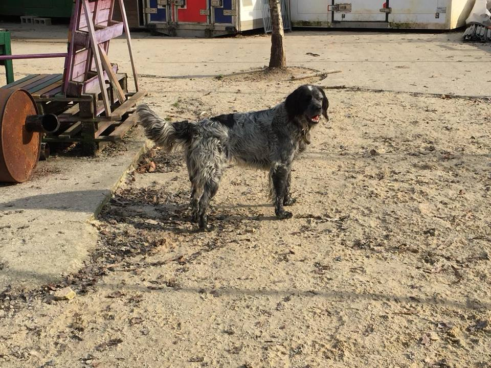 Patras English Setter Cross