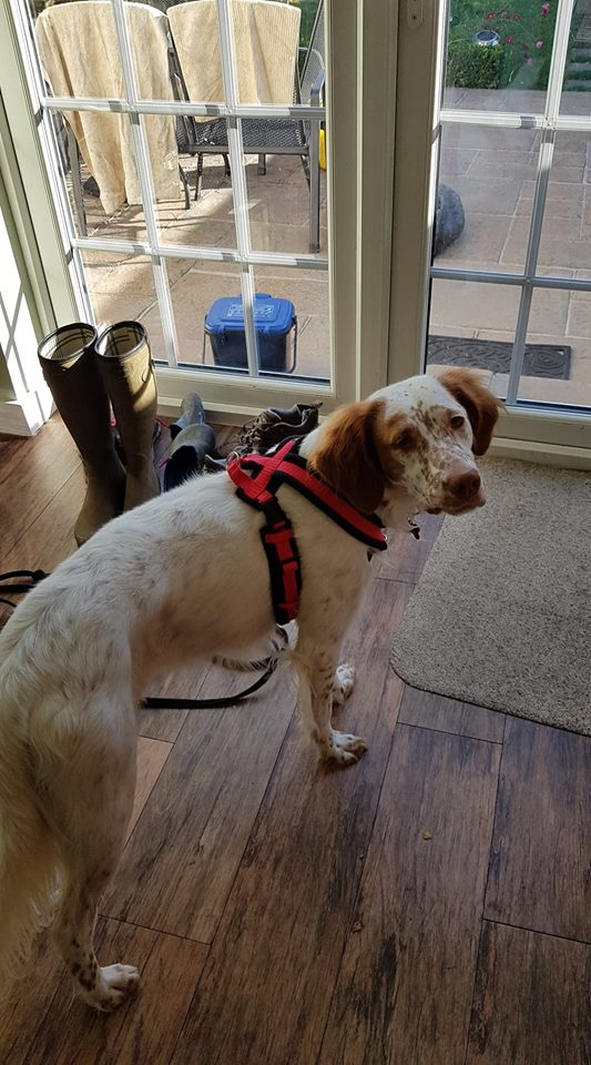 Hendrix English Setter