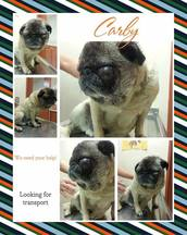 Carby Blind Pug Halo