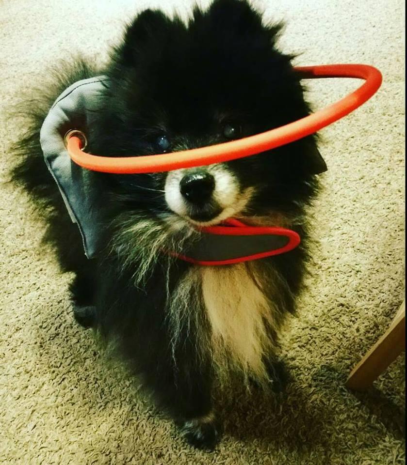 Roscoe Blind Pomeranian Halo