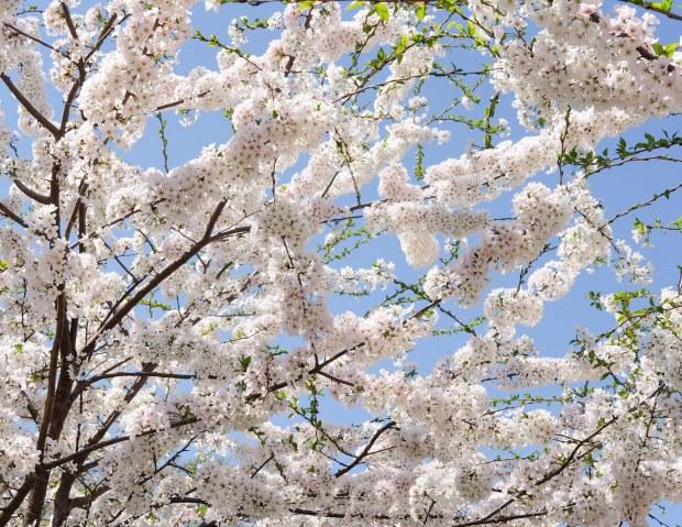 CherryBlossomsChicago10.jpg