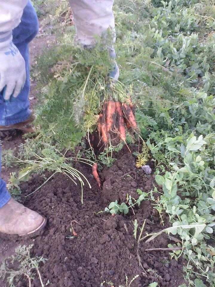 Digging our abundant crop of carrots.