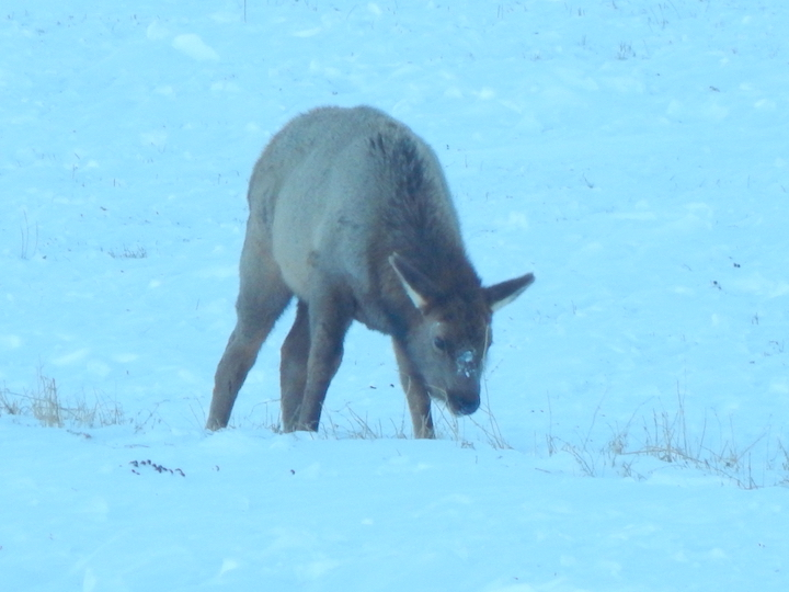 Elk calf pawing for food