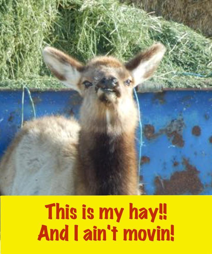 Elk and hay
