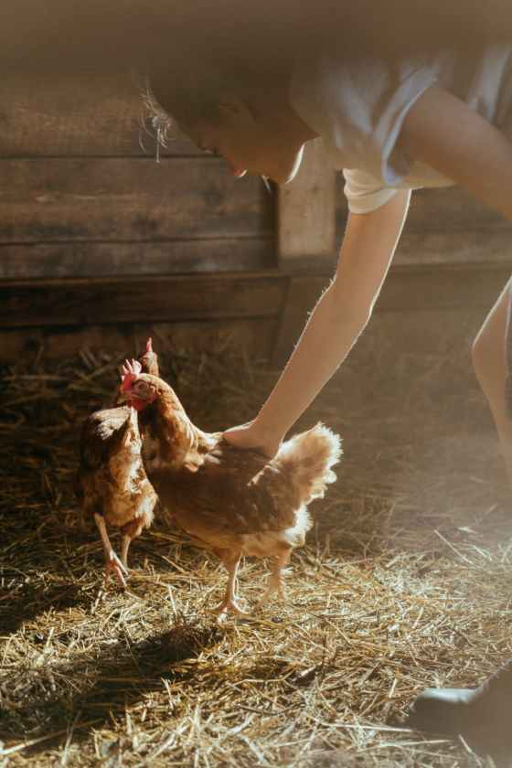 a chicken in a barn being petted