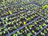 An army of seedlings!