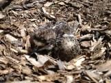 A killdeer chick!