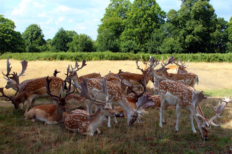 deers in Richmond Park in London